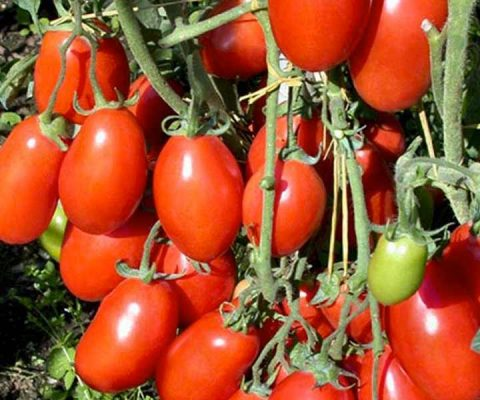 Il Pomodoro, effetti sulla salute